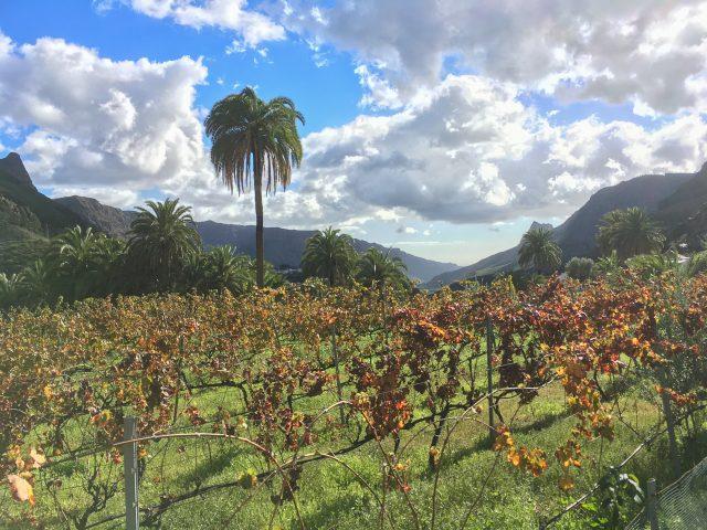 Wijnranken tussen Fataga en Tunte