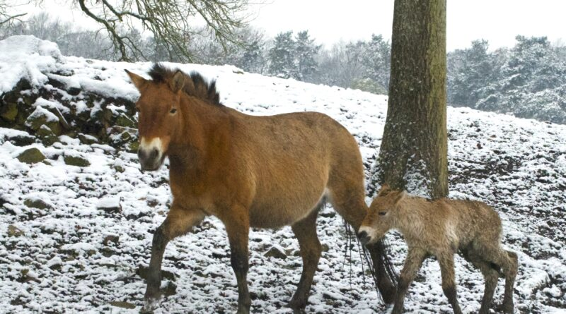 Przewalski-paard